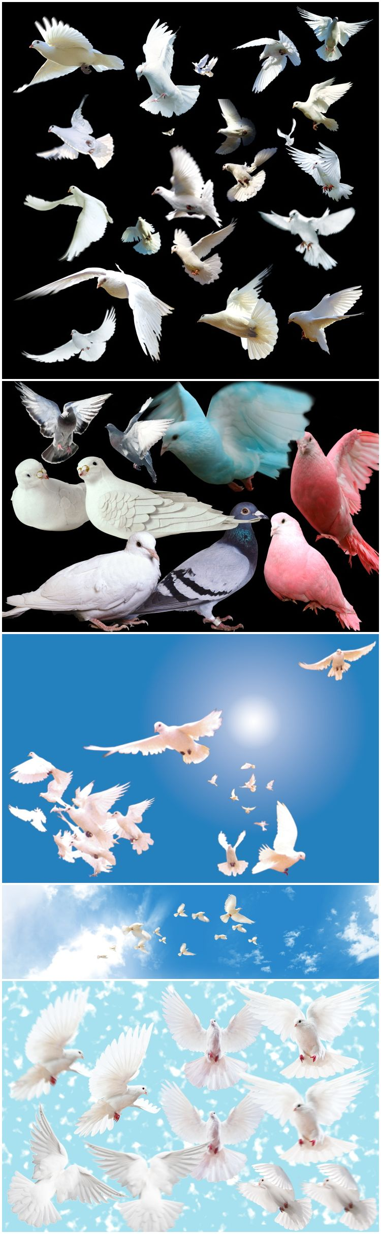 白鸽子飞鸟类灰鸽和平鸽PSDPNG免抠透明叠加合成素材后期修图修片
