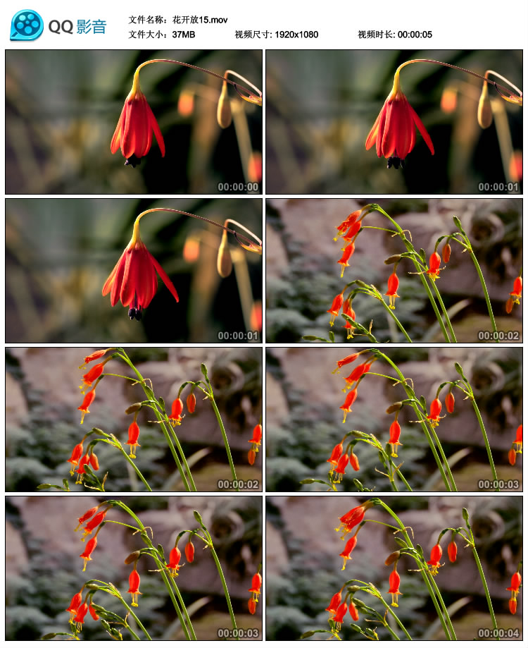 花朵开放 鲜花绽放快镜头花朵花卉快速开放高清实拍视频素材合集