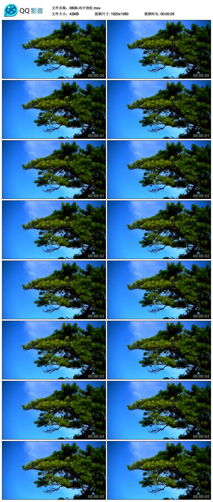 风中劲松 松树 松柏摇动 蓝天松树 中国高清实拍视频素材