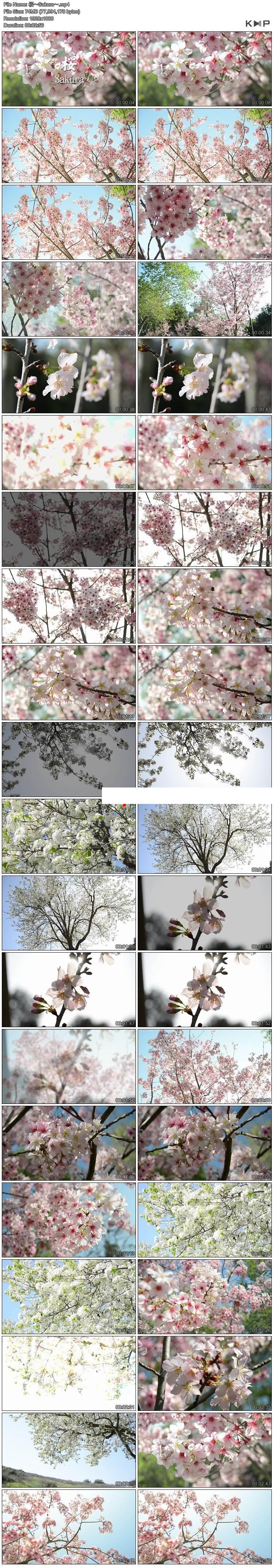 高清实拍桃花樱花盛开花园花海枝头特写桃花盛开开放花蕾视频素材