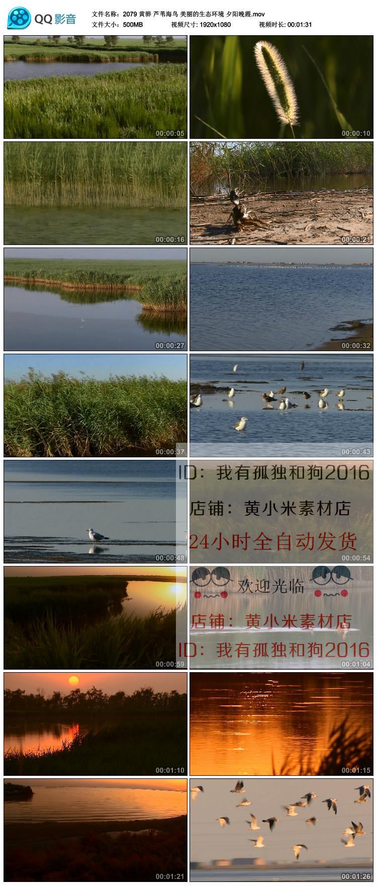黄骅风光 芦苇海鸟 美丽的生态环境 夕阳晚霞 高清实拍视频素材